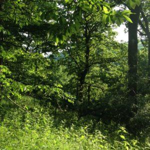 Chestnut Wood on Mid summer evening