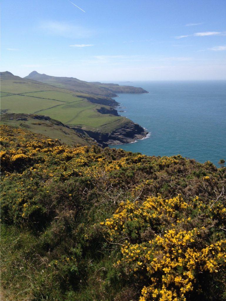 Cliff top gorse. Pembrokeshire