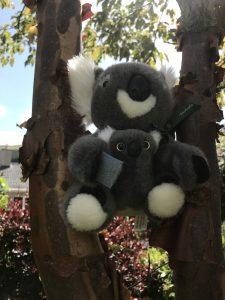 Koalas in the wild garden
